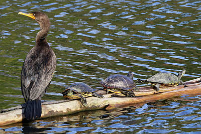 Photograph - Cormorant And Turtles Setauket New York by Bob Savage