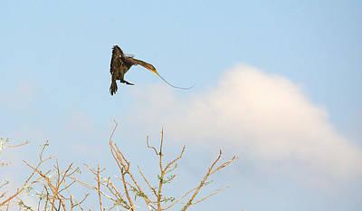Cormorant Approach Landing Art Print