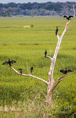 Photograph - Cormorant At Horicon Marsh by Ricky L Jones