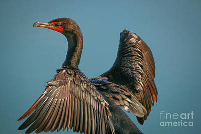 Photograph - Cormorant Close-up by Tom Claud