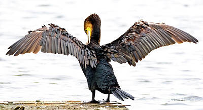 Photograph - Cormorant by Colin Rayner