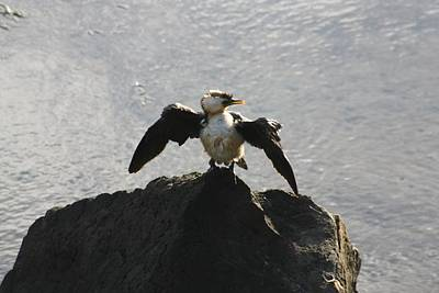 Sean Rights Managed Images - Cormorant Drying2 Royalty-Free Image by Steve Kelly
