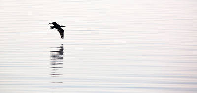 Glassy Wing Photograph - Cormorant Flight by Rachel Morrison