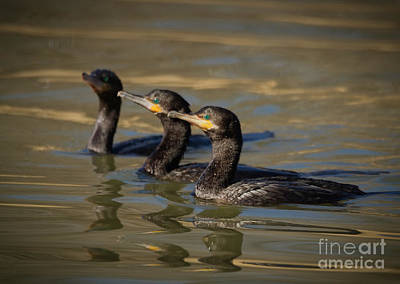 Photograph - Cormorant Hunting Party by David Cutts