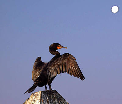 Photograph - Cormorant I I  by Newwwman