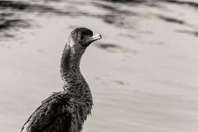 Photograph - Cormorant In Bw by Jonathan Nguyen
