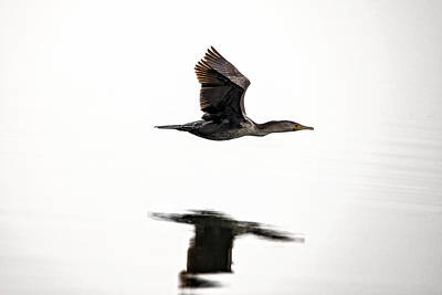 Photograph - Cormorant In Flight by Michael White