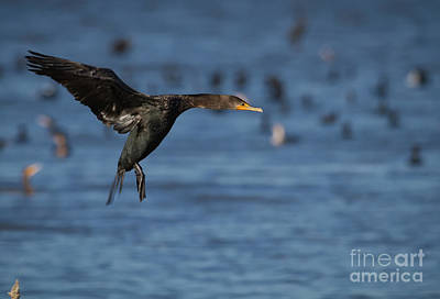 Photograph - Cormorant Landing by David Cutts