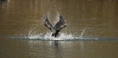 Photograph - Cormorant Lost In The Splash by Karen Silvestri