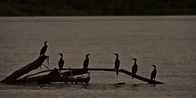 Photograph - Cormorant Menorah by Ron Dubin