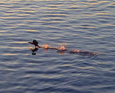 Photograph - Cormorant by  Newwwman