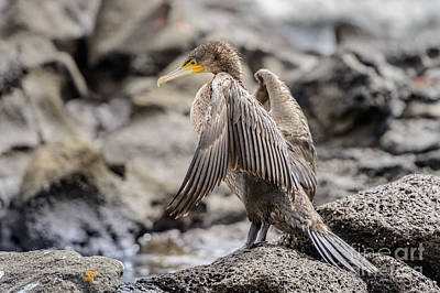 Photograph - Cormorant Nsw01 by Werner Padarin
