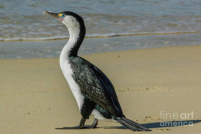 Photograph - Cormorant Nz02 by Werner Padarin