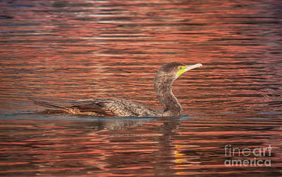 Photograph - Cormorant On Autumn Red by Robert Frederick