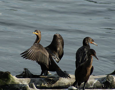 Photograph - Cormorant On Display by Margie Avellino