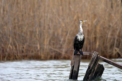 Photograph - Cormorant On Post by Cliff Norton