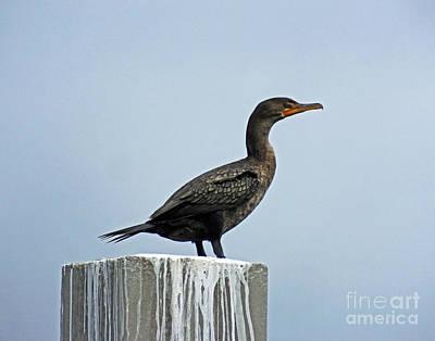 Photograph - Cormorant Perdido Key by Lizi Beard-Ward