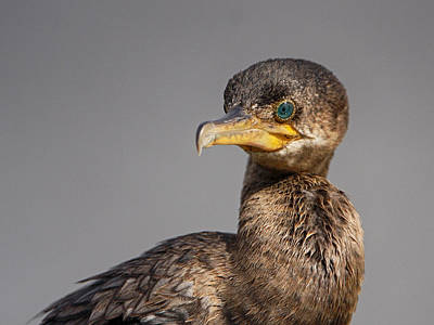 Photograph - Cormorant Portrait by Charles McKelroy