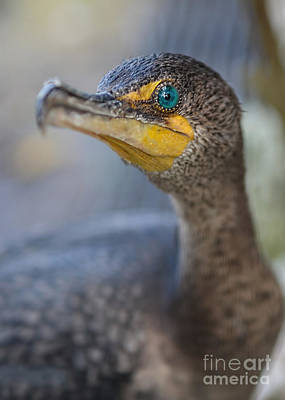 Photograph - Cormorant Portrait by Olga Hamilton