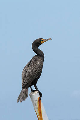 Photograph - Cormorant Post by Paul Rebmann