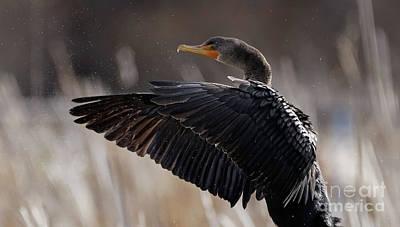 Photograph - Cormorant Show-off by Sue Harper