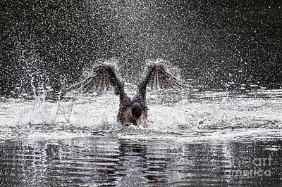 Photograph - Cormorant Splash 2626c by Cynthia Staley