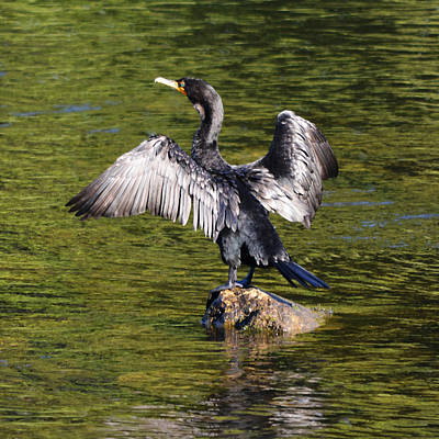 Photograph - Cormorant - Square by Richard Andrews