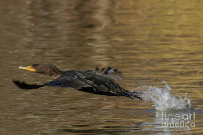 Photograph - Cormorant Takeoff by David Cutts