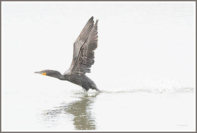 Tool Paintings - Cormorant Takes Flight by A Macarthur Gurmankin