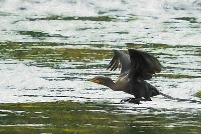 Photograph - Cormorant Taking Off Cu by Belinda Greb