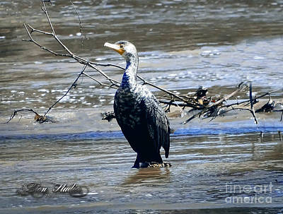 Photograph - Cormorant Water Bird by Melissa Messick