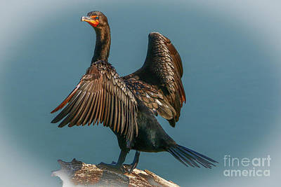 Photograph - Cormorant Wings by Tom Claud