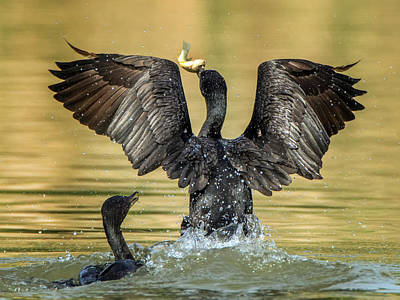 Photograph - Cormorant With Fish 0991-111217-1cr by Tam Ryan