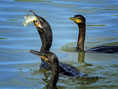 Photograph - Cormorant With Fish 1481-111317-1cr by Tam Ryan