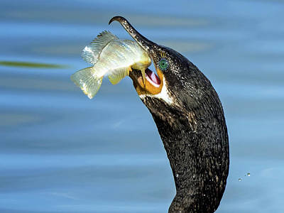 Photograph - Cormorant With Fish 1481-111317-2cr by Tam Ryan