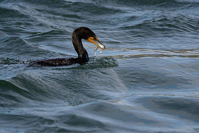 Photograph - Cormorant With Minnow by Ernie Echols
