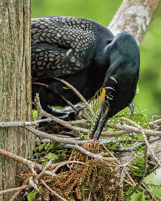 Photograph - Cormorant Working On Nest by Dawn Currie