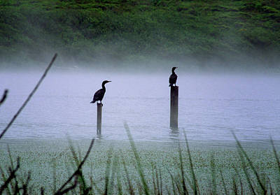 Photograph - Cormorants by Art Shimamura