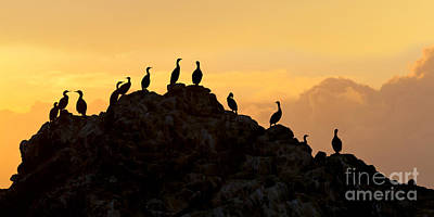 Photograph - Cormorants On A Rock With Golden Sunset Sky by Sharon Foelz