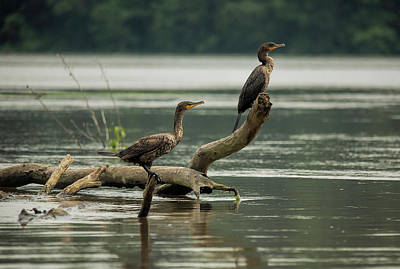 Photograph - Cormorants On Lake Chesdin by Jemmy Archer