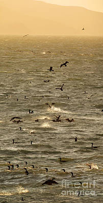 Photograph - Cormorants Splashing In The Windy Tomales Bay, Marin County, Cal by Wernher Krutein