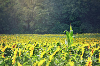Photograph - Corn Among The Sunflowers by Sharon McConnell
