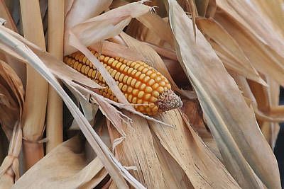 Ears Of Corn Photograph - Corn And Stalks by Art Block Collections