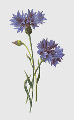 Wild Flowers Drawing - Corn Blue Bottle by Frederick Edward Hulme