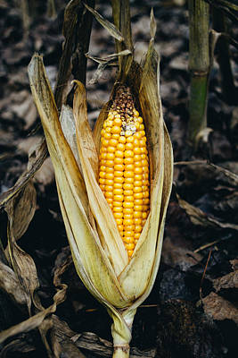 Corn Cob In Autumn Art Print by Pati Photography