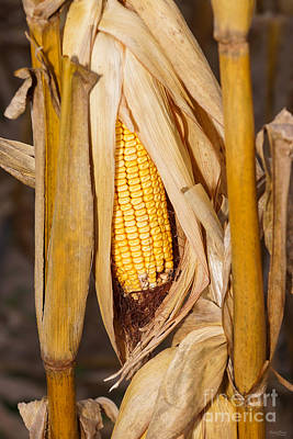 Photograph - Corn Cobb On Stalk by Jennifer White