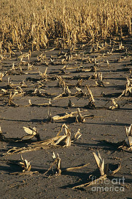 Failing Photograph - Corn Crop Failure by Inga Spence