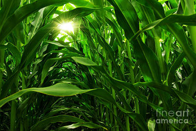 Outside Photograph - Corn Field by Carlos Caetano