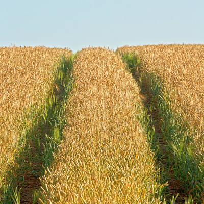 Corn Field Print by Heiko Koehrer-Wagner