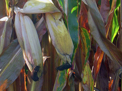 Photograph - Corn For Feeds by Tina M Wenger